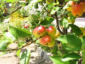 赤くなってきた「ひめリンゴ」