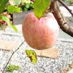 展示場のりんごの木が実りました(^-^)