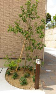 ソヨゴ シンボルツリー